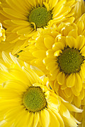 Close Up Floral Metal Prints - Three Yellow Daisies  Metal Print by Garry Gay