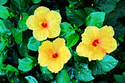Paintng Framed Prints - Three Yellow Hibiscus Framed Print by Eva Kaufman