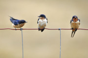 Feeding Birds Photo Prints - Three Young Swallows Print by Laura Mountainspring