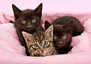 Black Feline Framed Prints - Threee kittens in a pink and white basket Framed Print by Susan  Schmitz