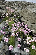 The Burren Prints - Thrift (armeria) Print by Bob Gibbons