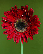 Gerber Daisy Art - Thriving by Melanie Moraga