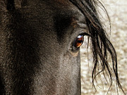 Black Stallion Posters - Through the Eye of a Stallion Poster by Scott Hovind