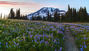 Mount Rainier Prints - Through the Flowers Print by Mike Reid