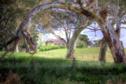 Paddocks Prints - Through The Gum Trees Print by Mark Richards