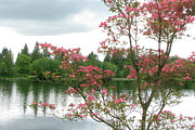 Dogwood Lake Prints - Through the Pink Print by Frank Townsley