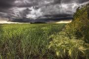 Threatening Prints - Thunder Clouds Over Field Of Wheat Print by Dan Jurak