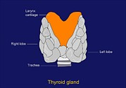 Thyroid Gland, Artwork Print by Francis Leroy, Biocosmos