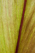 Life Line Posters - Ti Leaf Close-up Poster by Joe Carini - Printscapes