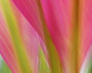 Ranjini Kandasamy Framed Prints - Ti Leaves Framed Print by Ranjini Kandasamy