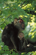 Two Tailed Photo Metal Prints - Tibetan Macaque Nursing Baby Metal Print by Cyril Ruoso