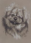Tibetan Art Drawings - Tibetan Spaniel by Barbara Keith