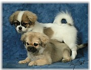 Puppies Digital Art - Tibetan Spaniel pups 2  by Maxine Bochnia