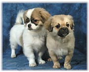 Puppies Digital Art - Tibetan Spaniel pups by Maxine Bochnia