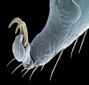 Claw Posters - Ticks Leg Claw, Sem Poster by Steve Gschmeissner