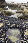 Rocks. Tidal Pool Posters - Tide Pool Poster by Georgette Douwma