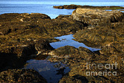 Maine Shore Framed Prints - Tidepool In Maine Framed Print by Ted Kinsman