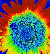 Photogrphy Prints - tiedyed Sunflower Print by Paul  Wilford