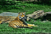 Tiger Stripes Framed Prints - Tiger - Endangered - lying down - tongue out Framed Print by Paul Ward