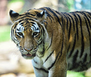 Sticking Out Prints - Tiger - Endangered - Wildlife Rescue Print by Paul Ward