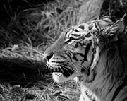 Zoo Animals Framed Prints - Tiger 2 BW Framed Print by Ernie Echols