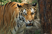 Whiskers Prints - Tiger 20x30 Print by Ernie Echols