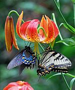 Swallowtail Posters - Tiger and Black Swallowtails on Turks Cap Lilly Poster by Alan Lenk