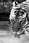 Lapping Prints - Tiger At The Watering Hole Print by Tracie Kaska