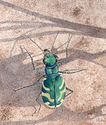 Inger Hutton Metal Prints - Tiger Beetle Metal Print by Inger Hutton