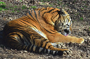Tiger Behavior Print by Sandi OReilly
