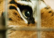 Siberian Tiger Posters - Tiger behind bars Poster by Melody and Michael Watson