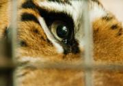 Tiger Behind Bars Print by Melody Watson