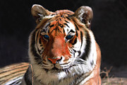 Zoo Animals Posters - Tiger Blue Eyes Poster by Rebecca Margraf