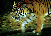 Smithsonian Prints - Tiger Burning Bright Print by Rebecca Sherman