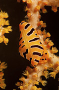 Gorgonian Photos - Tiger Cowrie On Yellow Sea Fan, Bali by Mathieu Meur