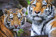 Mothers Love Framed Prints - Tiger cub and mom  Framed Print by Emmanuel Panagiotakis