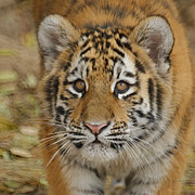 Zoo Animals Photos - Tiger Cub by Ernie Echols