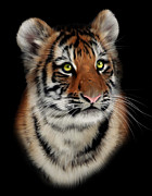 Panthera Posters - Tiger Cub Portrait Poster by Julie L Hoddinott