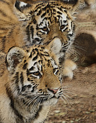 Striped Cat Framed Prints - Tiger Cubs Framed Print by Ernie Echols