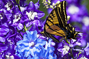 Delphinium Photos - Tiger Delphinium Feast by Scott Hansen
