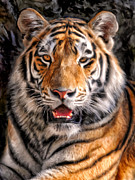 Dominic Piperata Metal Prints - Tiger Metal Print by Dominic Piperata