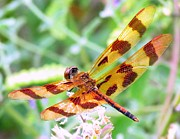 Tiger Dragonflies Prints - Tiger Dragonfly Print by Lori Lafargue