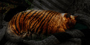Tiger Dream Prints - Tiger Dreams Print by Kathi Shotwell
