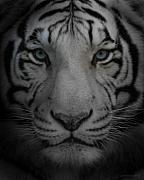 White Tiger Framed Prints - Tiger Eyes Framed Print by Joseph G Holland