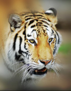 Wild Life Metal Prints - Tiger Eyes Metal Print by Michael Peychich