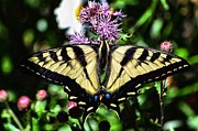 Tiger Swallowtail Digital Art Prints - Tiger Feeding Print by Don Mann