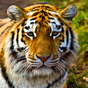 Fur Stripes Prints - Tiger Print by Gert Lavsen