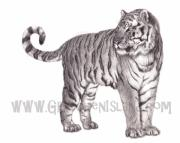 Black And White Photos Drawings - Tiger by Gretchen Barota