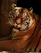 Indiana Photography Prints - Tiger II Print by Sandy Keeton