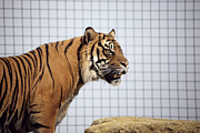 Endangered Cat Posters - Tiger In Captivity Poster by Linda Wright